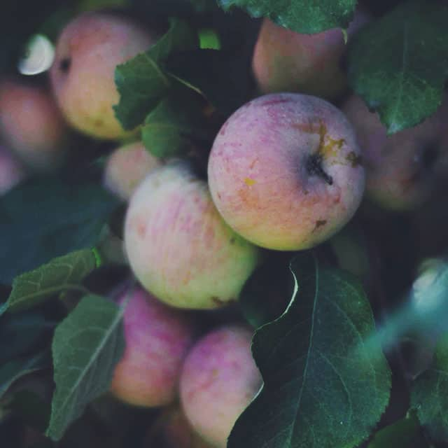 Apple Picking    Turntable Kitchen